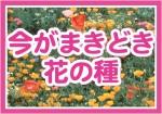 今がまきどき花の種OL