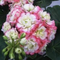 八重咲きゼラニウム キャンディーボール ピコティー