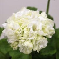 八重咲きゼラニウム キャンディーボール ホワイト