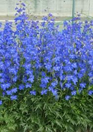 デルフィニウム | 家庭園芸|カネコ種苗株式会社